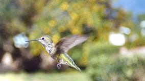 Cute humming bird. Cute flying humming bird with nature green background saw at Los Angeles Royalty Free Stock Photos
