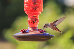 Cute humming bird. Cute flying humming bird eating at a flower shape bird feeder saw at Los Angeles Stock Image