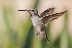 Cute humming bird. Cute flying humming bird with nature green background saw at Los Angeles royalty free stock photo