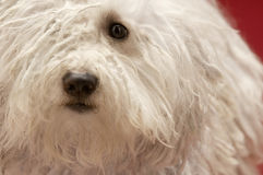 Cute Hungarian Komondor Royalty Free Stock Images