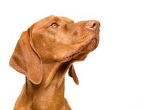 Cute hungarian vizsla dog side view studio portrait. Dog looking to the side headshot isolated over white background.