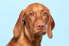 Cute hungarian vizsla dog studio portrait. Dog looking at the camera headshot over pastel blue background.