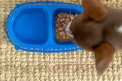 Hungry Jack Russell Terrier is feeding at home royalty free stock photography
