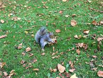 Cute squirrel holding a nut Royalty Free Stock Image