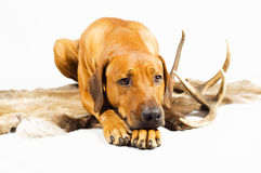 Cute hunting dog on reindeer fur Royalty Free Stock Images