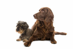 Cute hunting dogs. Brown spaniel and small terrier hunting dogs, isolated on white background royalty free stock photography