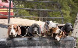 Hunting Dogs Ready To Go. Cute Hunting Dogs Ready To Go royalty free stock photos