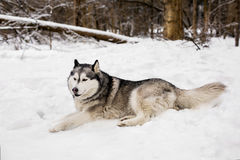 Cute huski is laying on snow. Around white show with trees huski is having a rest Royalty Free Stock Photography