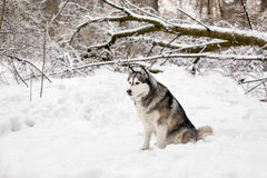 Cute huski is sitting. Huski is sitting on snow around the forest with trees Royalty Free Stock Image