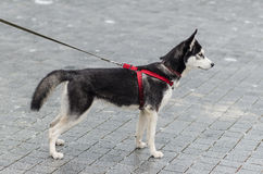 Cute husky breed dog posing Royalty Free Stock Photography