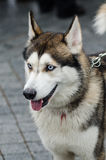 Cute husky dog with blue eyes close up portrait. Over grey background Stock Photo