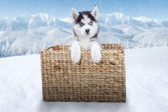 Cute husky dog in the box on snow Royalty Free Stock Images