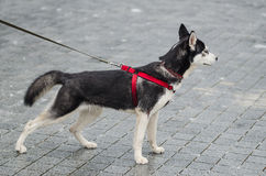 Cute husky dog posing. In exhibition style Royalty Free Stock Photo