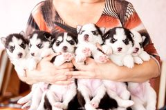 Cute husky puppies, many puppies. Six puppies Siberian Husky. Litter dogs in the hands of the breeder. Little puppies Royalty Free Stock Images