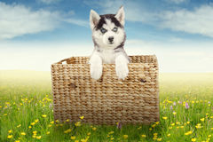 Cute husky puppy in the basket on meadow Stock Images