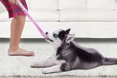 Cute husky puppy biting a sock at home Stock Images