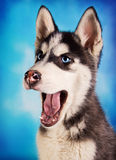 Cute husky puppy on blue background Stock Image