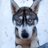 Cute husky puppy Royalty Free Stock Photos