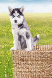 Cute husky puppy in the box at field Royalty Free Stock Photos