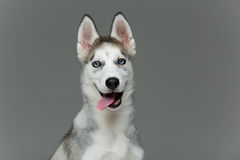 Cute husky puppy dog. Beautiful siberian husky puppy dog on grey background. Copy space Stock Photos