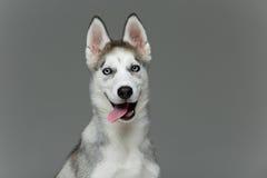 Cute husky puppy dog stock photos