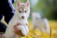 Cute husky puppy sitting on his arms dangling his paws stock image