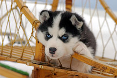 Cute Husky puppy in sled Stock Photography