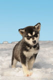 Cute husky puppy on the snow. Cute draught dog husky puppy on the snow and clear blue sky royalty free stock photography