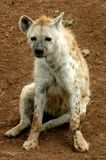 Cute hyena Royalty Free Stock Images