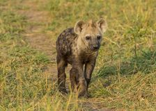 Cute hyena cub stock photos