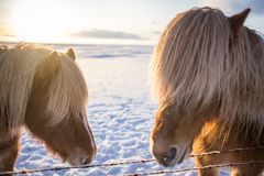 Cute icelandic brown horse in the sunrise sun. Two cute Brown horse faces close-up, a horse looking in the camera, blue sky background, a group of ponies Stock Images