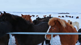 Cute icelandic horses in snowy weather stock video footage