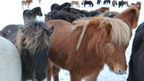 Cute icelandic horses in snowy weather stock video