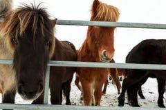 Cute icelandic horses in snowy weather Stock Photos