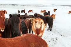 Cute icelandic horses in snowy weather Royalty Free Stock Photo