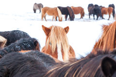 Cute icelandic horses in snowy weather Royalty Free Stock Image