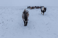 Cute icelandic horses in snowy weather Stock Images