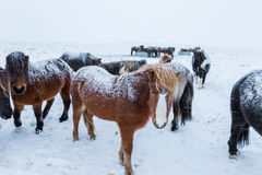 Cute icelandic horses in snowy weather Royalty Free Stock Photography