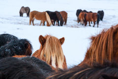 Cute icelandic horses in snowy weather Stock Image