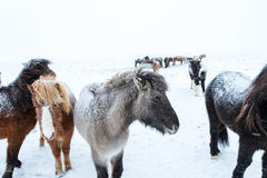 Cute icelandic horses in snowy weather Stock Photography