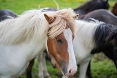 Cute Icelandic Horses in summer time ,Iceland. Stock Photo