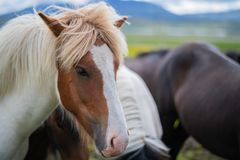 Cute Icelandic Horses in summer time ,Iceland. Stock Image