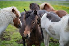 Cute Icelandic Horses in summer time ,Iceland. Royalty Free Stock Photography