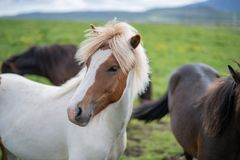 Cute Icelandic Horses in summer time ,Iceland. Royalty Free Stock Photos