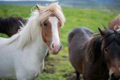 Cute Icelandic Horses in summer time ,Iceland. Royalty Free Stock Photo