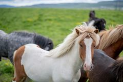 Cute Icelandic Horses in summer time ,Iceland. Stock Photography