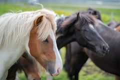 Cute Icelandic Horses in summer time ,Iceland. Stock Photos