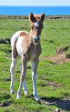 Cute Icelandic pinto foal. royalty free stock photo