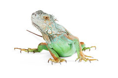 Cute Iguana on White Looking Up Stock Photo