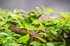 Cute Indochinese rat snake (Ptyas korros) is slithering on tree Royalty Free Stock Photo
